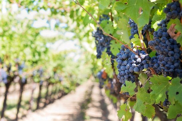 Weinberg mit Weinrebe
