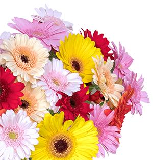 Blumenstrauß mit 40 bunten Gerbera für nur 24,98 Euro bei Blumeideal