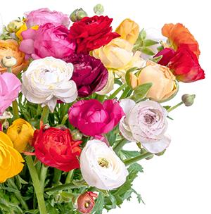Blumenstrauß mit 31 Ranunkel + gratis Vase für nur 25,98 Euro inkl. Lieferung