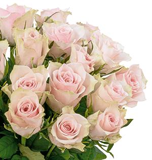 35 creme-rosa Rosen für nur 22,98 Euro inkl. Versand