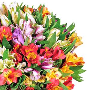 40 Inkalilien mit bis zu 300 Blüten nur 25,98€ inkl. Lieferung