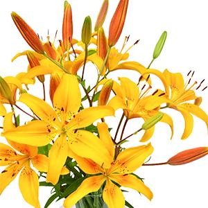 20 gelben Lilien mit bis zu 60 Blüten für nur 24,98 Euro inkl. Lieferung
