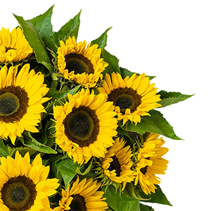 17 Sonnenblumen (60 cm lang) für nur 25,98€ inkl. Lieferung