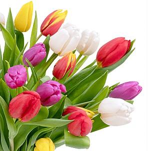 35 bunte Tulpen im Bund (40cm Stiellänge, 7-Tage-Frischegarantie) für 26 Euro