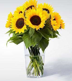 10 Sonnenblumen für nur 10€ – versandkostenfrei