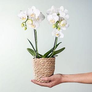 Orchidee in Weiß mit Korb für nur 10€ inkl. Versand